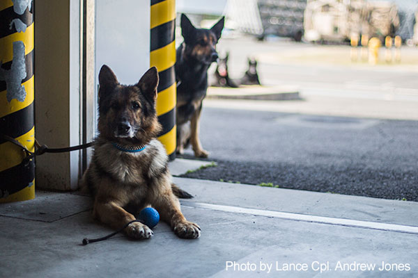 Marine Corps Air Station Iwakuni, Japan, March 13, 2018 - Japanese working dogs wait for their turn to perform a search at Marine Corps Air Station. The training brought Japanese K-9 handlers from the Japan Maritime Self-Defense Force Kure Repair Supply Facility Petroleum Terminal unit and the Hiroshima Police Headquarters to the air station, where they practiced detecting explosives with K-9's.